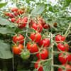 Tomate tem alta de 150%