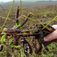 Produtores estimam quebra de 40% na produção de feijão em Goiás